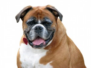 boxer-dog-on-white
